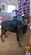 doberman pinscher puppy posted by lmbblaylock