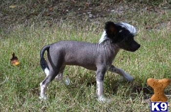 chinese crested puppy posted by lmunchrath