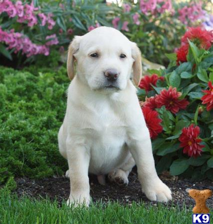 labrador retriever puppy posted by lovablepups