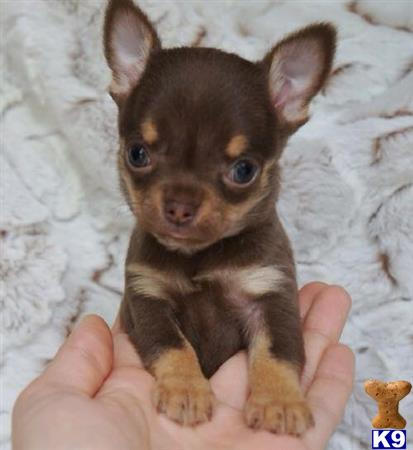 chihuahua puppy posted by loveline001
