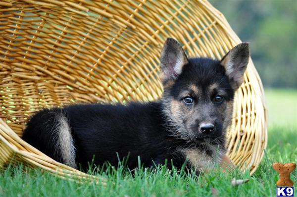 german shepherd mix puppies for sale lancaster puppies - 600×398