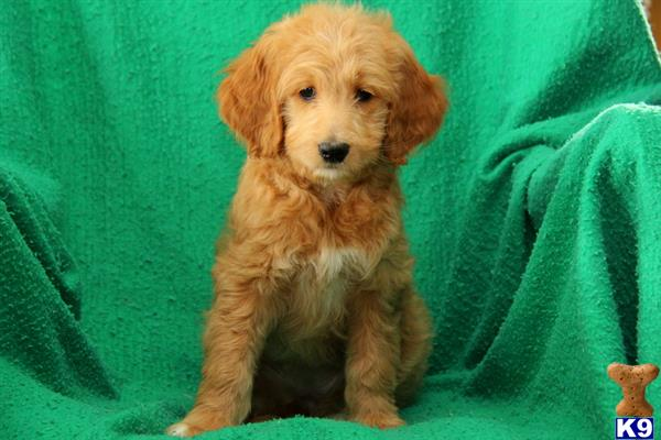 goldendoodles puppy posted by lovelypups