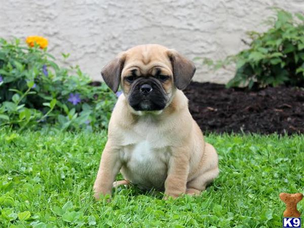 Pug Mix Breeds
