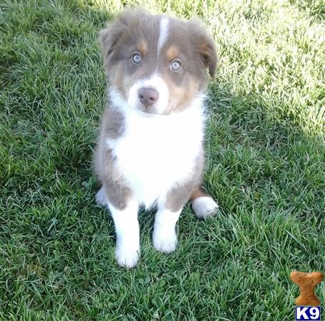 australian shepherd puppy posted by lovemyaussies