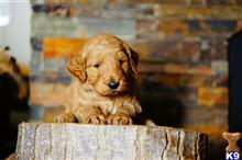 goldendoodles puppy posted by luba123