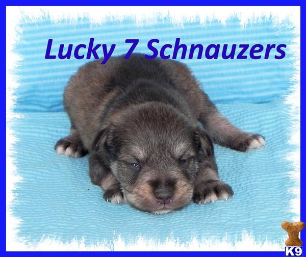 Miniature Schnauzer Puppy for Sale: Aztec, toy/tcup schnauzer 4 Years ... Miniature Schnauzer Utah