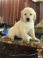 golden retriever puppy posted by lucybeckySE