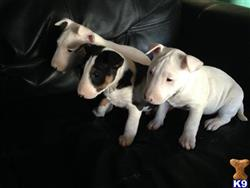 bull terrier puppy posted by lvbullterriers