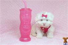 maltese puppy posted by lvpuppyheaven