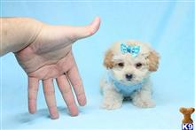 maltipoo puppy posted by lvpuppyheaven