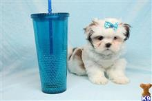 shih tzu puppy posted by lvpuppyheaven