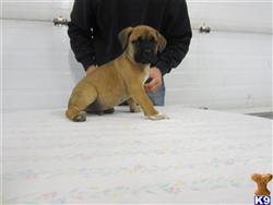 cane corso puppy posted by lynngolden
