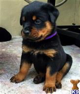 rottweiler puppy posted by manserty
