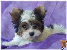 biewer yorkshire terriers puppy posted by margot54
