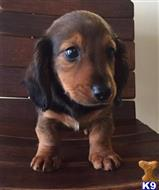 dachshund puppy posted by marguello281