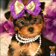yorkshire terrier puppy posted by marianez
