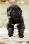 newfoundland puppy posted by marlinjnewhaven