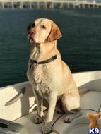 Labrador Retriever Stud Dogs in Florida