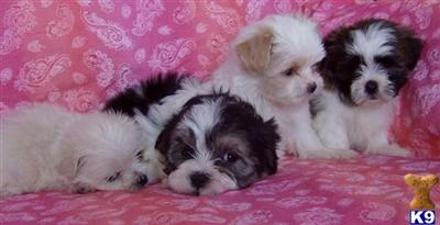 Buttercup Puppies~Family Raised~Non Shedding/Hypoallergenic~Great with Kids