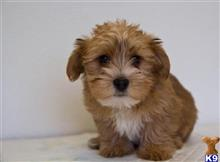 yorkshire terrier puppy posted by mayacottre