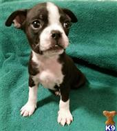 boston terrier puppy posted by mayraorozco20
