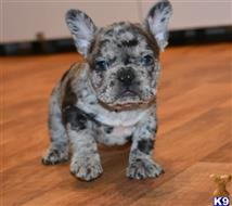 french bulldog puppy posted by mb377054