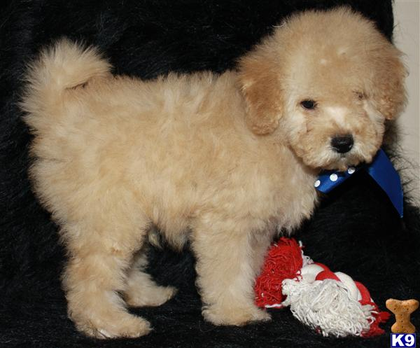 goldendoodle mini puppies. F1B Mini Goldendoodles~Red,