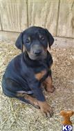doberman pinscher puppy posted by mdoak