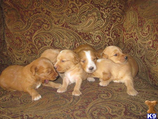 goldendoodle puppies for sale. goldendoodle dogs. goldendoodle dogs. 2011 Goldendoodles Puppies for Sale
