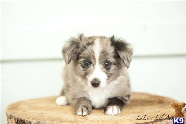 National Champion Grandsire - Unique Blue Merle -BET Sister