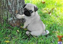pug puppy posted by melissaguzman