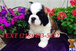 saint bernard puppy posted by messamejane3