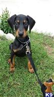 doberman pinscher puppy posted by mfelty