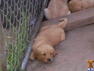 golden retriever puppies mn. Golden+retriever+puppies+
