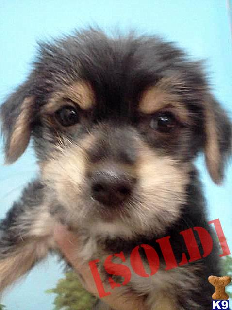 Cute Morkie. A Mixed Breed pup for sale located in LAKE WORTH, FL ...