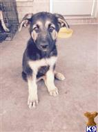german shepherd puppy posted by mhvn188