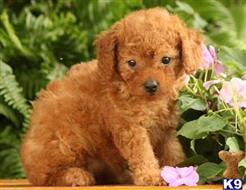poodle puppy posted by miabrayden4