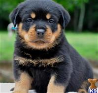 Rottweiler Puppies For Sale In Missouri
