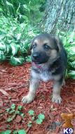 german shepherd puppy posted by midnightdingofarms