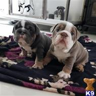 english bulldog puppy posted by mike2