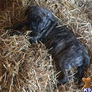 cane corso puppy posted by millertyme917