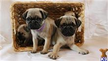 pug puppy posted by minellapiersons