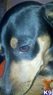 miniature pinscher puppy posted by minpintn