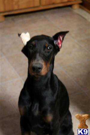 doberman pinscher puppy posted by mirai