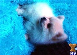 pomeranian puppy posted by miriellebrown