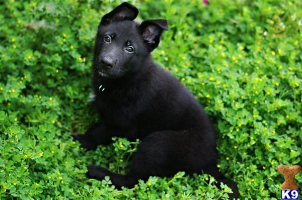 AKC. GERMAN SHEPERD PUPPIES