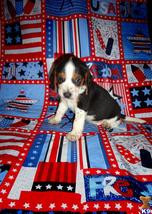 AKC tricolor Female puppies NOW OPEN FOR DEPOSIT