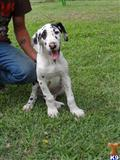 great dane puppy posted by mjhart
