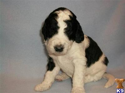 goldendoodle puppies michigan. Puppies in MI