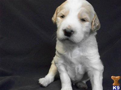 goldendoodle puppies michigan. Puppies in MI